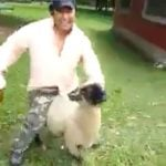 Even sheep don't like to be ridden by drunk guys